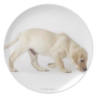 Labrador Retriever Puppy Walking Plate