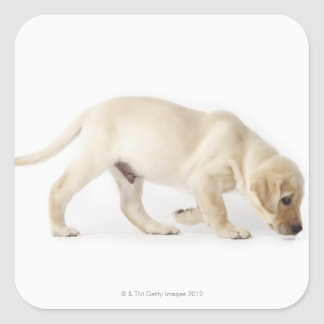 Labrador Retriever Puppy Walking Square Sticker