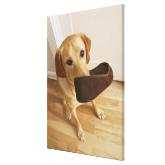 Labrador retriever puppy with slipper in his canvas print