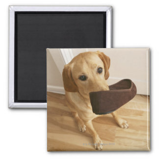 Labrador retriever puppy with slipper in his magnet