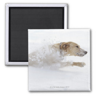 Labrador retriever running through deep snow magnet