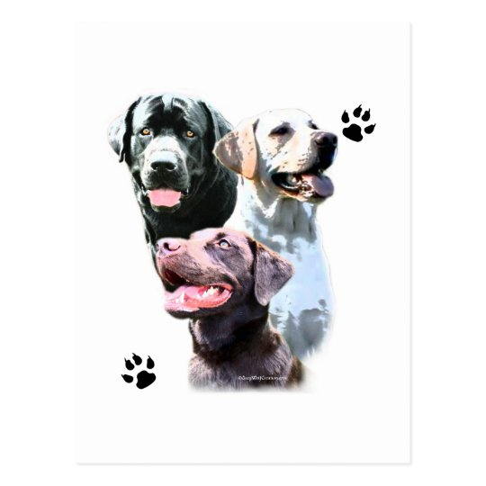 Labrador Retriever Trio Postcard