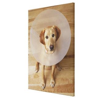 Labrador retriever with cone around his neck canvas print