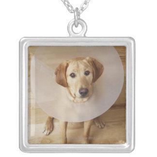 Labrador retriever with cone around his neck silver plated necklace