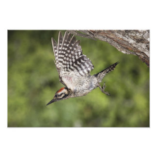 Ladder-backed Woodpecker, Picoides scalaris, Photo Print