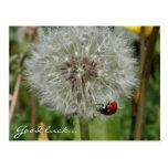 lady beetle - ladybird on dandelion postcard