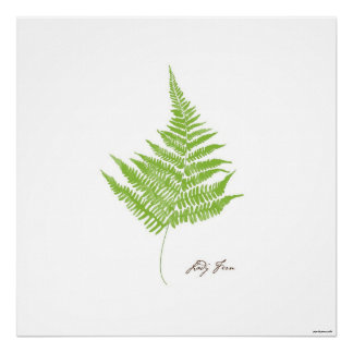 Lady Fern Illustration |  Fern Botanical Print