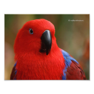 """""""Lady in Red"""" Eclectus Parrot Photographic Print"""