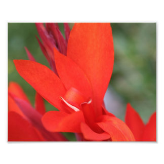 """""""Lady in Red"""" Red Canna Lily Closeup Photograph"""