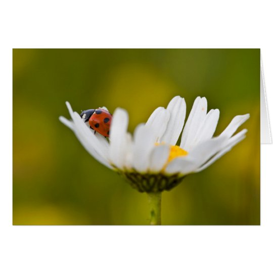 Ladybird in Oxeye Daisy - Greeting Card