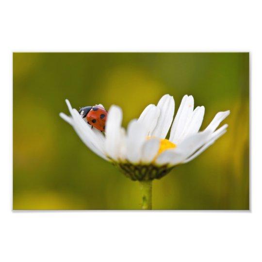 "Ladybird in Oxeye Daisy - Photo Print 12"" x 8"""