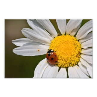Ladybird in Oxeye Daisy - Print Photo Print