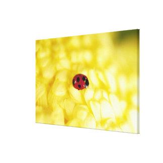 Ladybird on a yellow chrysanthemum canvas print