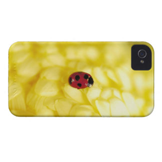 Ladybird on a yellow chrysanthemum iPhone 4 cases
