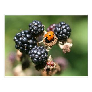 Ladybird on Blackberries Postcard
