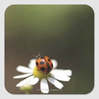 Ladybird on Chamomile Flower Square Sticker