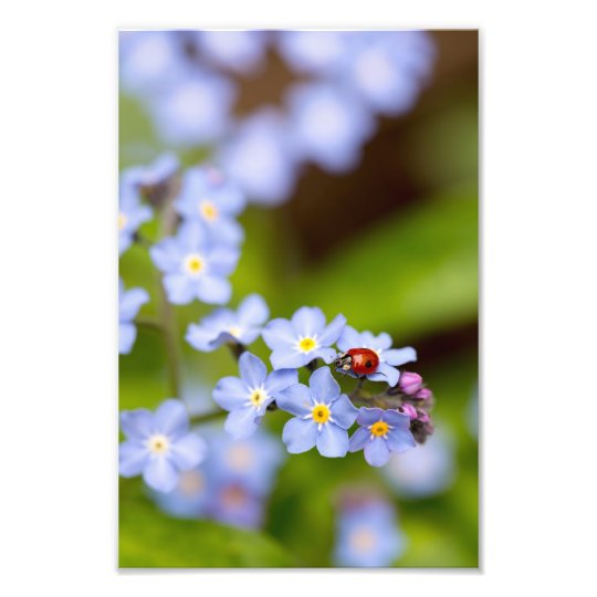 """Ladybird on Forget-me-not Print 8x12"""""""