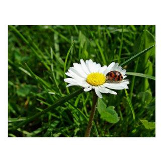 ladybird on gänseblümchen postcard