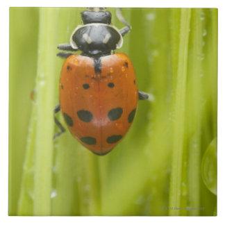 Ladybird on grass, close-up tile