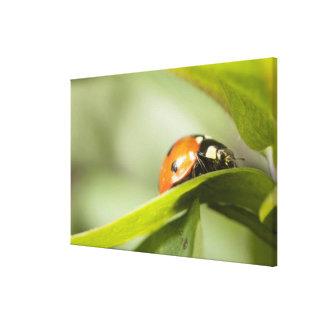 Ladybird on leaf,Ladybug on leaf 2 Canvas Print