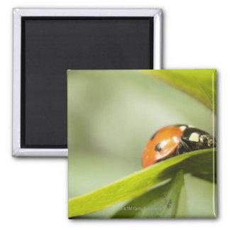 Ladybird on leaf,Ladybug on leaf Magnet
