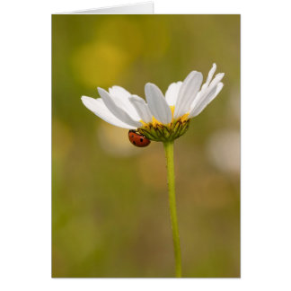 Ladybird on Oxeye Daisy - Greeting Card