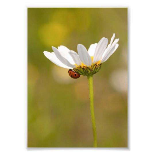 Ladybird on Oxeye Daisy Photo Print 5x7 inch