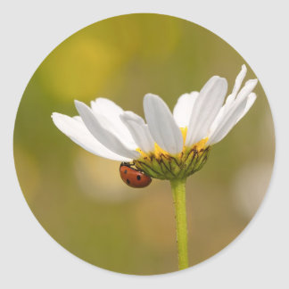 Ladybird on Oxeye Daisy Round sticker