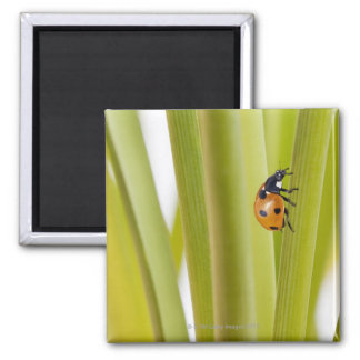 Ladybird on plant stems square magnet