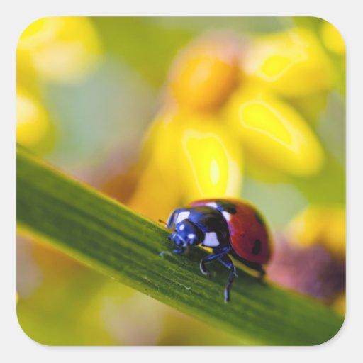 Ladybird on Ragwort flowers square stickers