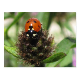 Ladybird - Postcard