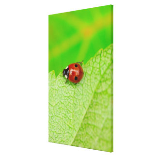 Ladybird walking across a leaf canvas print