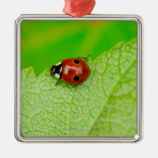 Ladybird walking across a leaf christmas ornament