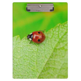Ladybird walking across a leaf clipboard