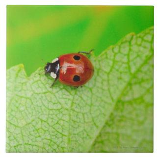Ladybird walking across a leaf tile