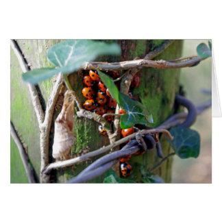 ladybirds huddled together Card