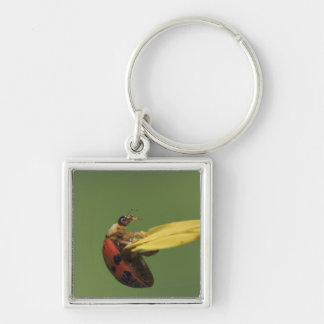 Ladybug Beetle, Coccinellidae, adult on flower, Silver-Colored Square Key Ring