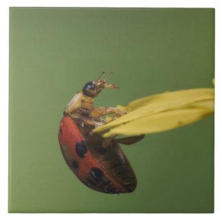 Ladybug Beetle, Coccinellidae, adult on flower, Large Square Tile