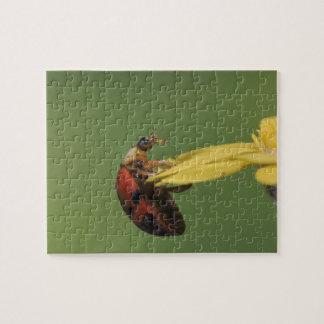 Ladybug Beetle, Coccinellidae, adult on flower, Puzzle