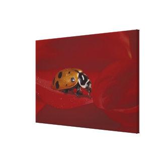 Ladybug Beetle. (Hippodamia convergens) 2 Canvas Print