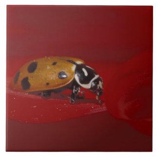 Ladybug Beetle. (Hippodamia convergens) 2 Large Square Tile