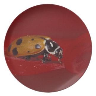 Ladybug Beetle. (Hippodamia convergens) 2 Plate