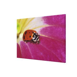 Ladybug Beetle. (Hippodamia convergens) Canvas Print