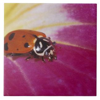 Ladybug Beetle. (Hippodamia convergens) Large Square Tile