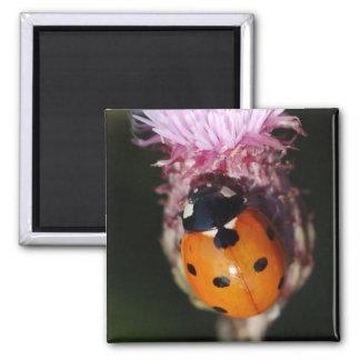 Ladybug - Lady Beetles magnet
