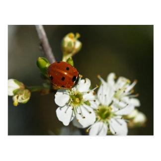 Ladybug - Ladybird Postcard - Ladybug On Hawthorn