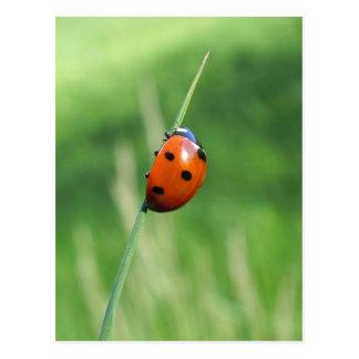 Ladybug on a blade of grass Postcard