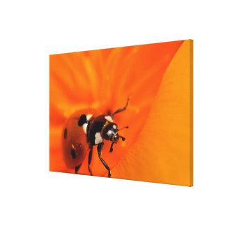 Ladybug on a poppy canvas print