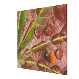 Ladybug on dewy maple leaf. Credit as: Don Canvas Print