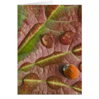 Ladybug on dewy maple leaf. Credit as: Don Card